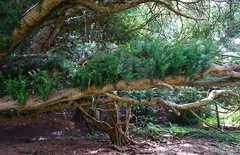 Yew tree in Kingley Vale 1 (Leimenide) Tags: kingley vale yew tree west sussex south downs wood trees shadows forest stoughton down countryside