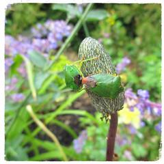 Bonking Bugs (JulieK (thanks for 7 million views)) Tags: hbbbt bug greenshieldbug macro fauna flora squareformat garden bokeh hggt insect invertebrate wexford ireland irish