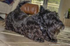 20180621  Yoga Dog  15267-Edit (Laurie2123) Tags: ddc ddc2018 dailydogchallenge fujixt2 laurieturnerphotography laurietakespics laurie2123 maggie missmaggie scottie scottishterrier blackscottishterrier blackdog
