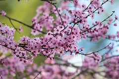 Cherry Blossoms (s.d.sea) Tags: cherry blossom pink flower tree blossoms bloom floral flora flowers branch spring pnw pacificnorthwest washington washingtonstate issaquah pentax k5iis nature