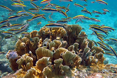 Juvenile bluehead wrasse & fire coral, Bonaire (Hawkfish) Tags: bonaire netherlandsantilles dutchcaribbean caribbean snorkeling underwater marinelife canonpowershotg7xmarkii wrasse firecoral