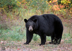 My Old Friend (Megan Lorenz) Tags: blackbear bear animal mammal sow female nature wildanimals wildlife wild ontario canada mlorenz meganlorenz
