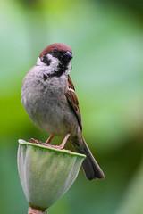 It takes two to tango - Eurasian Tree Sparrow on seedpot of Lotus (麻雀與蓮蓬的探戈) (Minder Cheng) Tags: plant eurasiantreesparrow lotus taipeibotanicalgarden taipei taipeicity taiwan tw