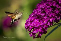 Hummingbird hawk-moth in flight (Ruud.) Tags: ruudschreuder nikon nikond850 d850 105mm macro makro insect insekt insects insekten vlinder butterfly schmetterling papillon natuur nature natur hummingbird hawk moth kolibrievlinder taubenschwänzchen