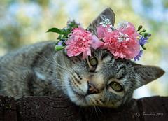 Pretty in Pink (Blazingstar) Tags: studio 26 flowers cat tabby blomkvist poppies hot
