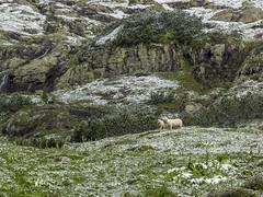 P6230015 (turbok) Tags: almlandschaft haustiere landschaft schafe schnee schneeundeis tiere weide c kurt krimberger