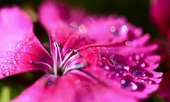 After the rain.... (setoboonhong) Tags: nature outdoor raindrops flower colours blur bokeh depth field macro tinyflower bendigo botanical garden