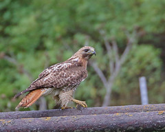 Red-tailed Hawk w/Lunch (Keith Carlson) Tags: redtailedhawk hawks raptors