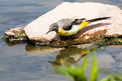 IMG_7801.jpg (TonyJ 3006) Tags: birds greywagtail places slimbridge