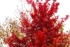 The red tree center of attention (Aliceheartphoto) Tags: autumn foliage orange leaves leaf cincinnatiphotography cincinnati ohio trees naturephotography nature fall red branches sony cybershot