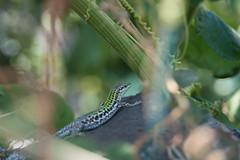 camuflado como un animal (Alessandro Nuti) Tags: rettile lucertola animale macro