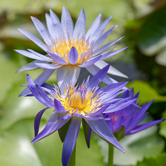 Tropical Purple Water Lily (Merrillie) Tags: pond vietnam plant water garden flora purple waterlily flower lotus outdoors beauty bloom yellow nature spiritual nymphaea