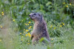 Murmeltier @ Zemmgrund Zillertal (Greby-Johann) Tags: klausenalm zillertal zemmgrund murmeltier österreich alps frei wildtier wild wildlife a marmot marmota munggen mankei