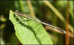 Female White-legged Damselfly (glostopcat) Tags: damselfly whiteleggeddamselfly ordonata insect invertebrate macro glos summer june tewkesbury riversevern