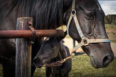 Little Black Colt (lleon1126) Tags: amish horses blackbeauty horse colt animal smileonsaturday mare amishfarm farm