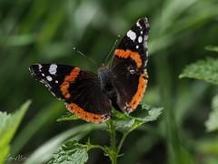 Admiral (Vanessa atalanta) (Lothar Malm) Tags: schmetterlinge schmetterling butterfly admiral vanessaatalanta