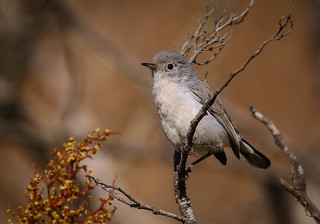 Blue-gray Gnatcatcher Inceville Los Liones Canyon California-471