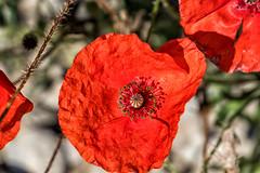 Klatschmohn (stefangruber82) Tags: alpen alps bavaria bayern flower blume blüte papaverrhoeas commonpoppy mohn poppy