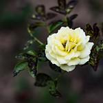 Bleach Bypass Rose thumbnail