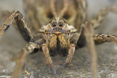 Hogna radiata, portrait d'une femelle adulte (Esparros) (G. Pottier) Tags: afsvrmicronikkor105mmf28gifed kenkoautomaticextensiontubesetdg hogna hognaradiata lycosetarentuline lycoseradiée lycose araignéeloup lycosaradiata lycosidae araneae arachnida araignée arachnide yeux vision pelouse soulane œil chélicères pédipalpe wolfspider d850 arañalobo araña wolfspinne spider spinne baronnies esparros hautespyrénées bigorre occitanie macro macrophotographie photography macrophotography