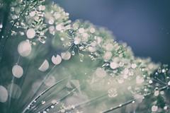 OOOoo (_elusive_mind_) Tags: flowers blumen dill herbs kräuter macro bokeh raindrops wassertropfen