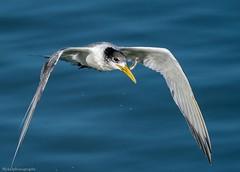 Little Tern (Mykel46) Tags: bif birds nature wildlife sony a9 100400mm water flight flying fish fast
