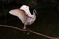 Australian White Ibis (Rodger1943) Tags: ibis australianwhiteibis australianbirds waders fz1000 faunainmotion