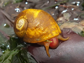 Smooth periwinkle (Littorina (Littorina) obtusata)