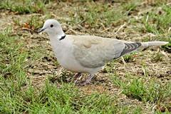 FSCN2062 Eurasian Collared Dove (Dodge Rock) Tags: eurasiancollareddove dove