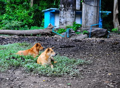 ,, A Plumbers Dream ,, (Jon in Thailand) Tags: dog dogs mama rocky motherson jungle deepjungle themonkeytemple nikon nikkor 75528 d300 k9 k9s dogears bodyguards queenofthejungle blue green red log trees pvcpipe bluewaterpipe