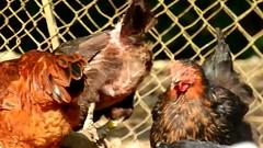 DSCN4302 poulailler 20 (poule) Ecancourt (jeanchristophelenglet) Tags: écancourtfrancefermedécancourt poulailler chickencoop galinheiro poule chicken galinha