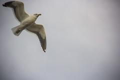 Larus delawarensis (Diego_Valdivia) Tags: porvenir tierradelfuego magallanes patagonia chile gaviota larus delawerensis bird seagull nature canon eos 60d