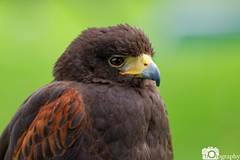 Harris Hawk (Mike House Photography) Tags: bird prey falcon eagle hawk talons beak wings flying flight fly yellow green brown white eyes sharp meat eater tail tips conservation wildlife animal photography
