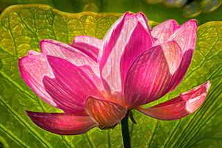 Artistic Pink Lotus Flower 6-0 F LR 7-7-18 J651