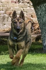 luke 2 (hector.frappe) Tags: perro compañero pastor belga