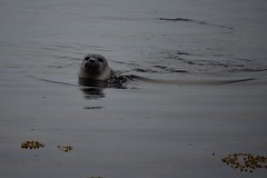 Seal, Vatnsnes peninsula, Iceland (suttree140782) Tags: iceland island nature outdoor photography nikon d5100 seal vatnsnes peninsula north ocean sea coast animal