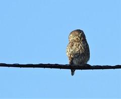 Little Owl On Telephone Wire - Druridge Ponds (Gilli8888) Tags: druridge druridgeponds northumberland birds owl littleowl raptor nature nikon p900 coolpix