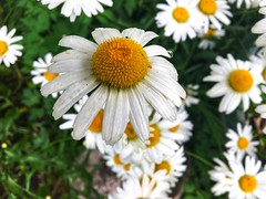 Daisies (Mihaela_gor) Tags: daisies flowers green nature finland