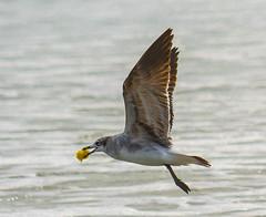 Snack at the beach (Shawn Blanchard) Tags: bird sea ocean water flight food wings eat beach nc north carolina emerald isle