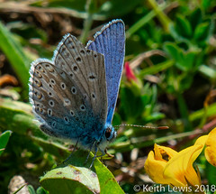 A Common Blue (keithhull) Tags: butterfly commonblue blue macro northcavewetlands eastyorkshire