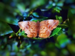 La mariposa es una flor que vuela.