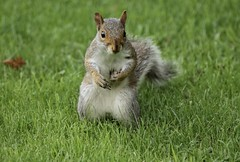 Who Me? Wasn't Me (Diane Marshman) Tags: gray squirrel grey white black tan fur bushy tail large rodent grass summer northeast pa pennsylvania nature wildlife outdoors pointing expression