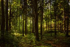 Lichter des Waldes - Lights of the wood (Karabelso) Tags: light wood trees nature natur shadow schatten lichtt flora sachsen germany panasonic lumix gx7