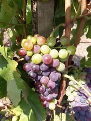 I mille colori del #nerellomascalese Contrada #Martinella #Etna #Linguaglossa  #Vivera #Etna and #Sicily #organic #wines #Italy  #Linguaglossa (CT)  Info, Visit #tasting ✉ info@vivera.it 💻 www.vivera.it  #cantine #vulcano #etnawine #etnaland #etn (e.vivera) Tags: etna etnaland etnawine linguaglossa vulcano vivera cantine winelover sicily wines etnadoc nerellomascalese tasting italy organic martinella