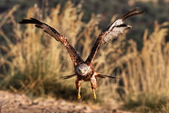 Milano real (Manolo Calabuig) Tags: milano ave eyes ojos ataque vuelo flight fly prey presa