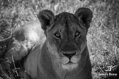 Eyes (www.jamesbrew.com) (James Brew (www.jamesbrew.com)) Tags: tanzania africa wildlife wild nature safari wildlifephotography james brew eastafrica travel travelphotography serengeti serengetinationalpark