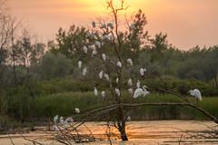 _DSC2036 Close Enough (Charles Bonham) Tags: midlandmi egrets roosting sunset trees wetlands water sky sonya7rll sonyfe100400mmgmoss charlesbonhamphotography