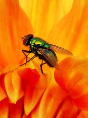 One Green Bottle Sitting on a Flower (Steve Taylor (Photography)) Tags: greenbottle fly insect green yellow orange closeup macro newzealand nz southisland canterbury christchurch northnewbrighton flower dahlia petals eye wings
