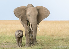 Elephant Mum and calf - Loxodonta africana (rosebudl1959) Tags: 2018 kenya masaimara zebraplains africanelephant calf