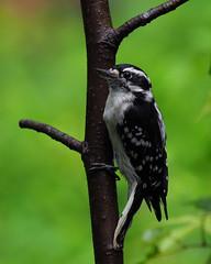 Downy woodpecker (female). (j.r.hoff) Tags: woodpecker downy